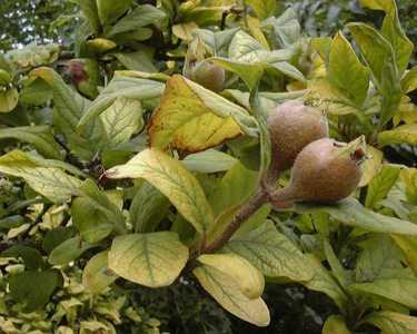Mespilus germanica L. [Famille : Rosaceae]