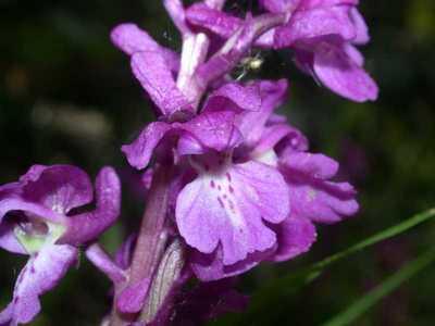 Orchis mascula (L.) L. [Famille : Orchidaceae]