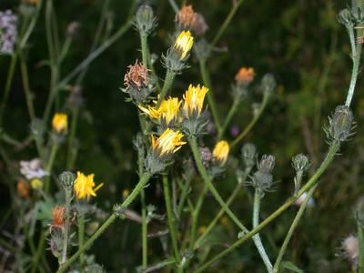 Picris hieracioides L. [Famille : Asteraceae]