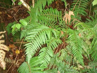 Polystichum setiferum (Forssk.) T.Moore ex Woyn. [Famille : Dryopteridaceae]