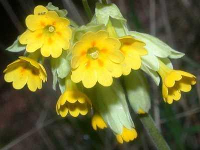 Primula veris L. [Famille : Primulaceae]