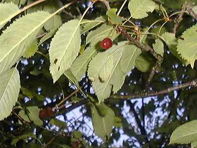 Prunus avium (L.) L. [1755] [Famille : Rosaceae]
