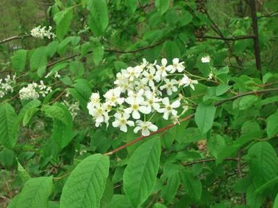 Prunus padus L. [Famille : Rosaceae]