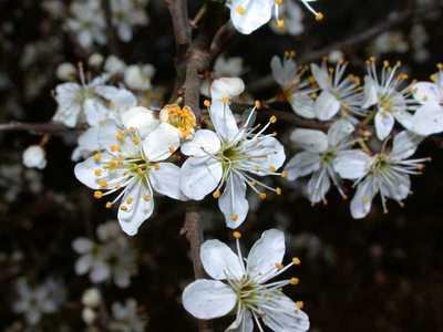 Prunus spinosa L. [Famille : Rosaceae]