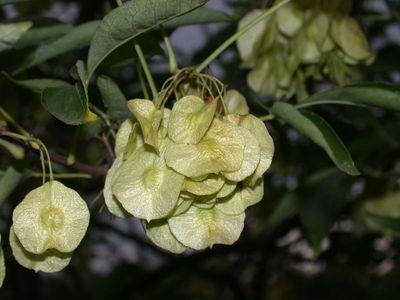 Ptelea trifoliata L. [Famille : Rutaceae]