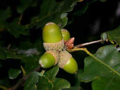 Quercus petraea Liebl. [Famille : Fagaceae]