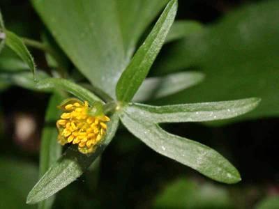 Ranunculus auricomus L. [Famille : Ranunculaceae]