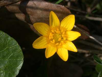 Ranunculus ficaria L. [Famille : Ranunculaceae]