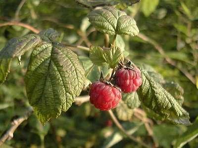 Rubus idaeus L. [Famille : Rosaceae]