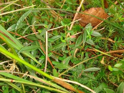 Salix repens L. [Famille : Salicaceae]