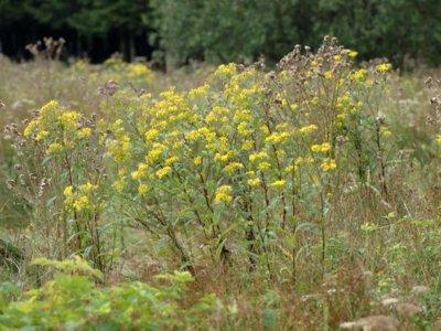 Senecio ovatus (G.Gaertn., B.Mey. & Scherb.) Willd. [Famille : Asteraceae]