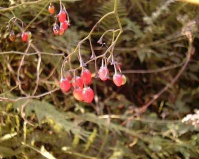 Solanum dulcamara L. [Famille : Solanaceae]
