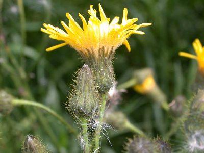Sonchus arvensis L. [Famille : Asteraceae]