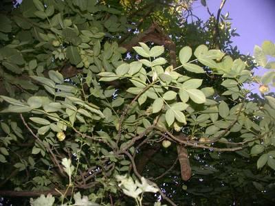 Staphylea pinnata L. [Famille : Staphyleaceae]
