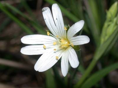 Stellaria holostea L. [Famille : Caryophyllaceae]