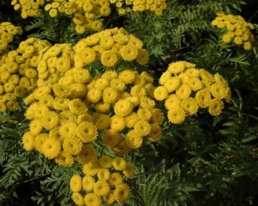 Tanacetum vulgare L. [Famille : Asteraceae]