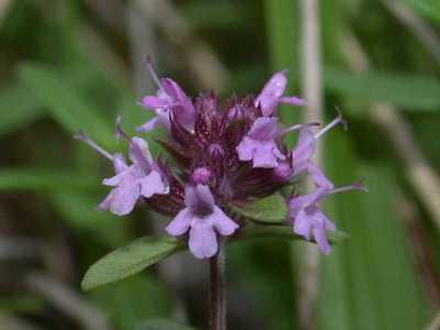 Thymus pulegioides L. [Famille : Lamiaceae]