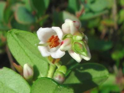 Vaccinium vitis-idaea L. [Famille : Ericaceae]
