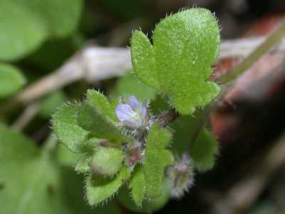 Veronica hederifolia L. [Famille : Scrophulariaceae]