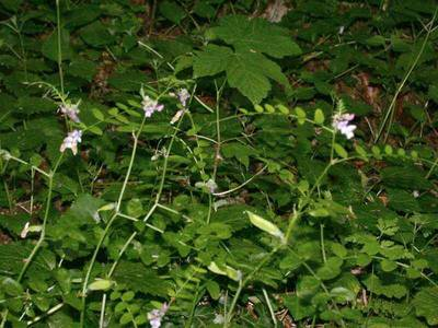 Vicia sepium L. [Famille : Fabaceae]