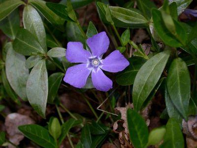 Vinca minor L. [Famille : Apocynaceae]
