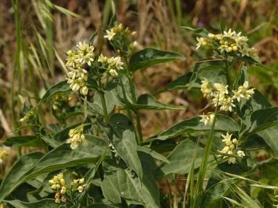 Vincetoxicum hirundinaria Medik. [Famille : Asclepiadaceae]