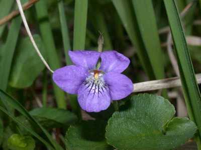 Viola riviniana Rchb. [Famille : Violaceae]