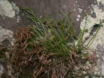 Asplenium septentrionale (L.) Hoffm. [Famille : Aspleniaceae]