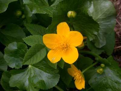 Caltha palustris L. [Famille : Ranunculaceae]