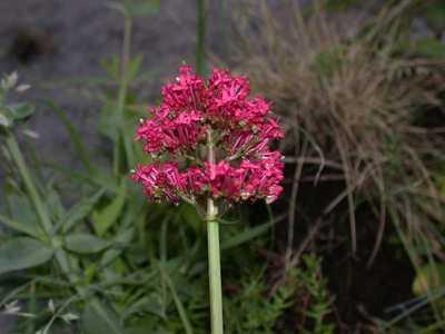 Centranthus ruber (L.) DC. [Famille : Valerianaceae]