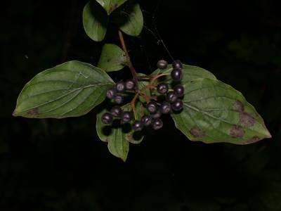 Cornus sanguinea L. [Famille : Cornaceae]