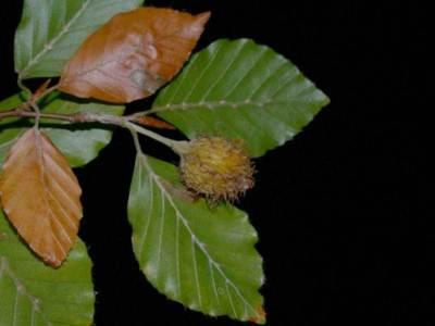 Fagus sylvatica L. [Famille : Fagaceae]