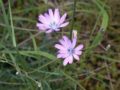 Lactuca perennis L. [Famille : Asteraceae]