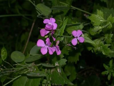 Lunaria annua L. [Famille : Brassicaceae]