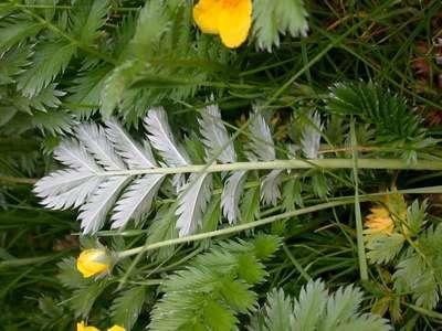 Potentilla anserina L. [Famille : Rosaceae]