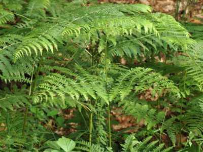 Pteridium aquilinum (L.) Kuhn [Famille : Dennstaedtiaceae]