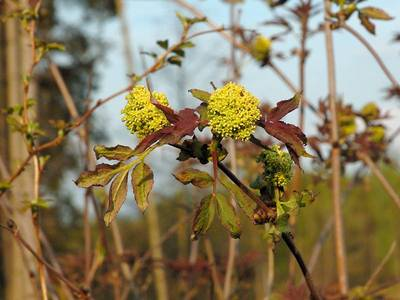 Sambucus racemosa L., 1753 [Famille : Caprifoliaceae]