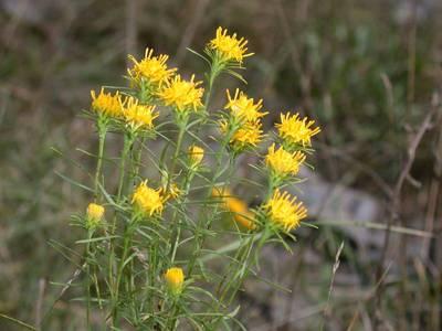 Aster linosyris (L.) Bernh. [Famille : Asteraceae]