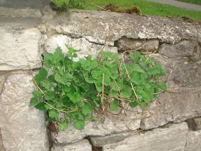Ballota nigra L. subsp. meridionalis Béguinot [Famille : Lamiaceae]