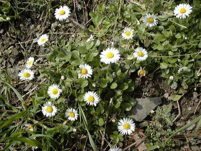 Bellis perennis L. [Famille : Asteraceae]