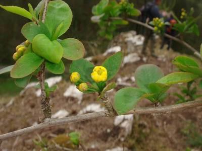 Berberis vulgaris L. [Famille : Berberidaceae]