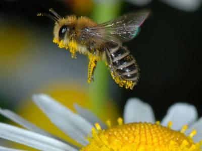 Colletes daviesanus [Famille : Apidae]