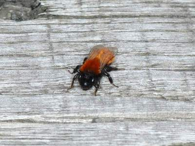 Andrena fulva [Famille : Apidae]