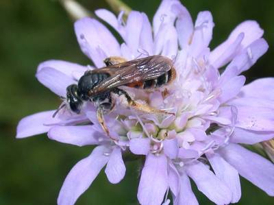 Andrena hattorfiana [Famille : Apidae]