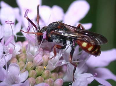 Nomada armata [Famille : Apidae]