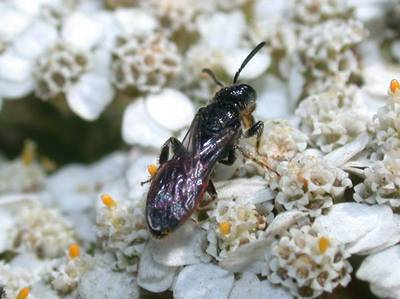 Sphecodes species [Famille : Apidae]