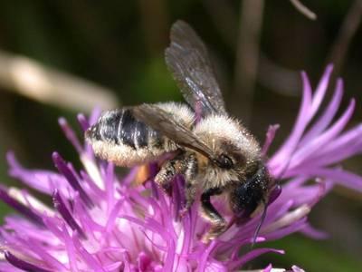 Megachile species [Famille : Apidae]