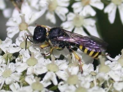 Ectemnius species [Famille : Crabronidae]