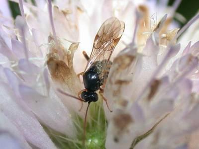 Espèce indéterminée 01 [Famille : Ichneumonidae]
