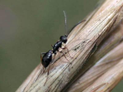 Groupe des Gelinae [Famille : Ichneumonidae]
